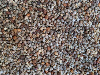 Cornus stolonifera seed