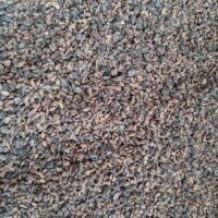 Sambucus mexicana seed