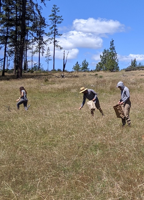 Volunteers collect seed in a meadow.