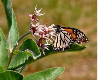 Monarch butterfly nectaring on a milkweed flower.